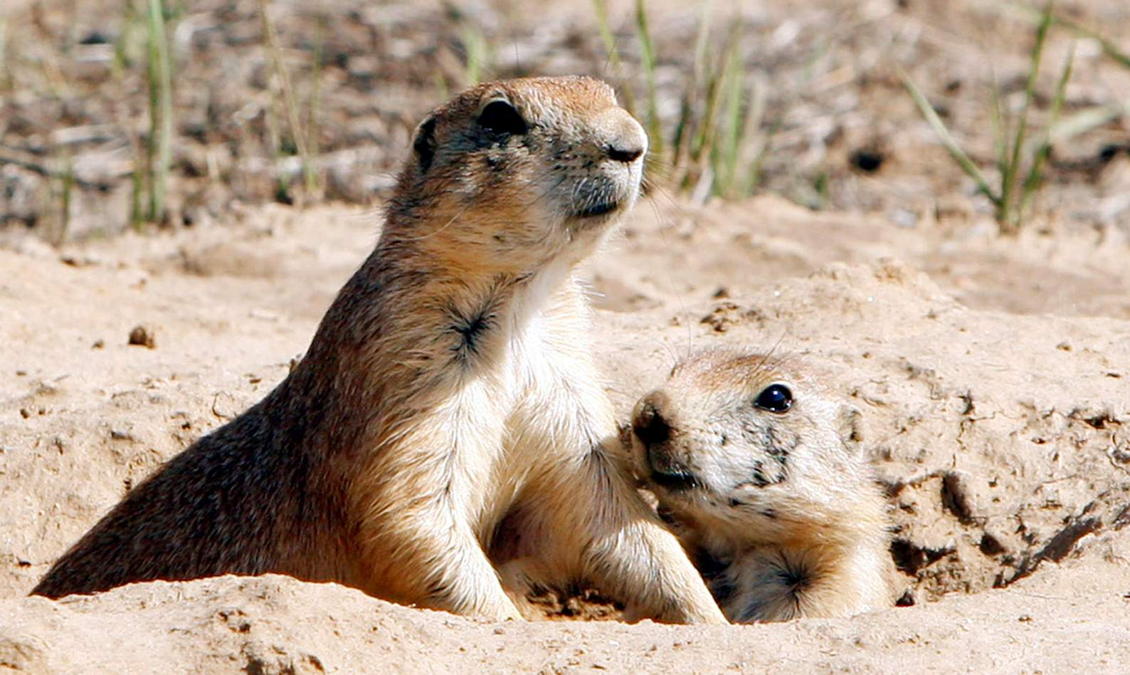 Arrival of prairie dogs and kids sign of the season prairie dogs will be there to greet visitors when durango nature center opens this month m4hsunfo