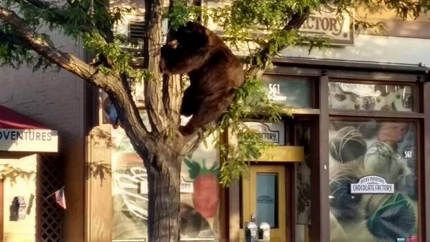 A bear trapped in a tree in downtown Durango on Thursday morning was relocated by Colorado Parks and Wildlife officers.