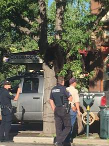A bear trapped in a tree in downtown Durango on Thursday morning was tranquilized and relocated by Colorado Parks and Wildlife.