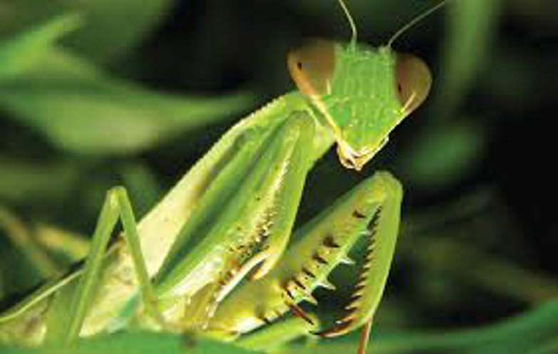 Our Spiritual Insect Friend The Praying Mantis