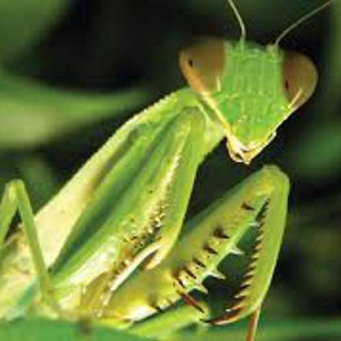 Our 'spiritual' insect friend, the praying mantis