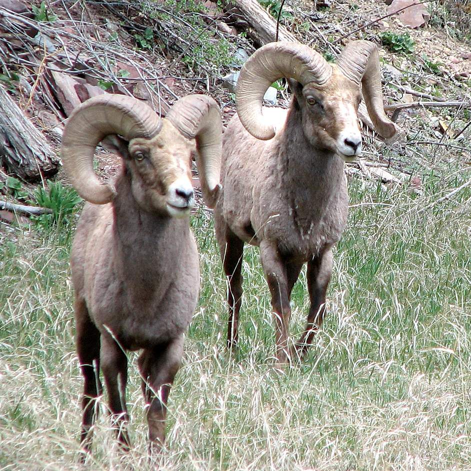 Six bighorns captured and tagged with GPS collars