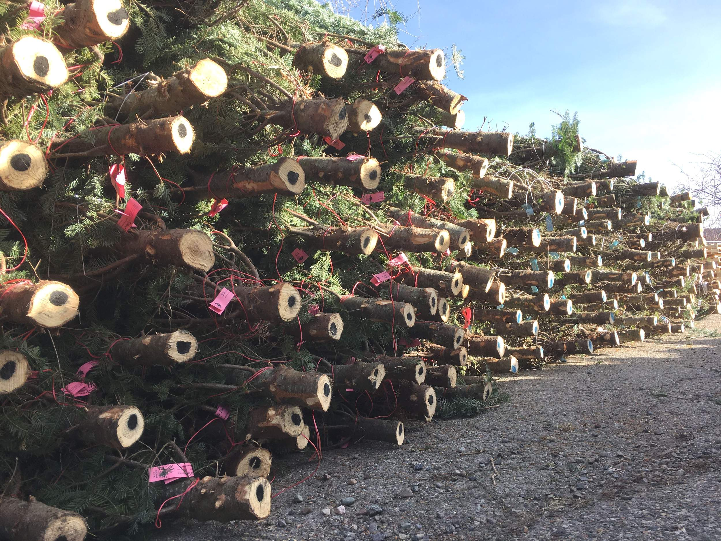 san juan mountains association received a delivery of christmas trees monday in the train parking lot near camino del rio and main avenue in durango - Cheap Real Christmas Trees For Sale