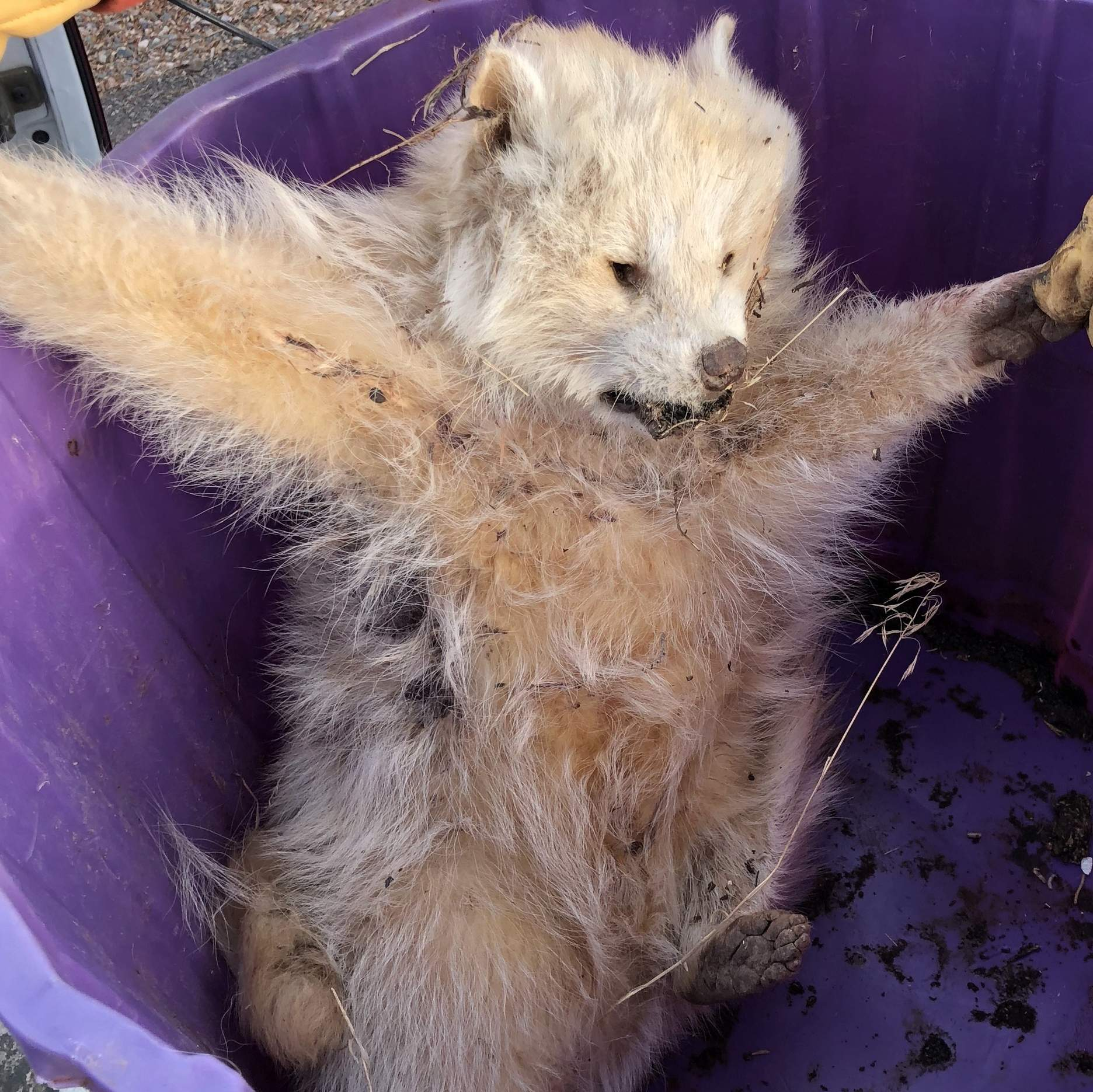 Durango family finds rare animal: An albino raccoon