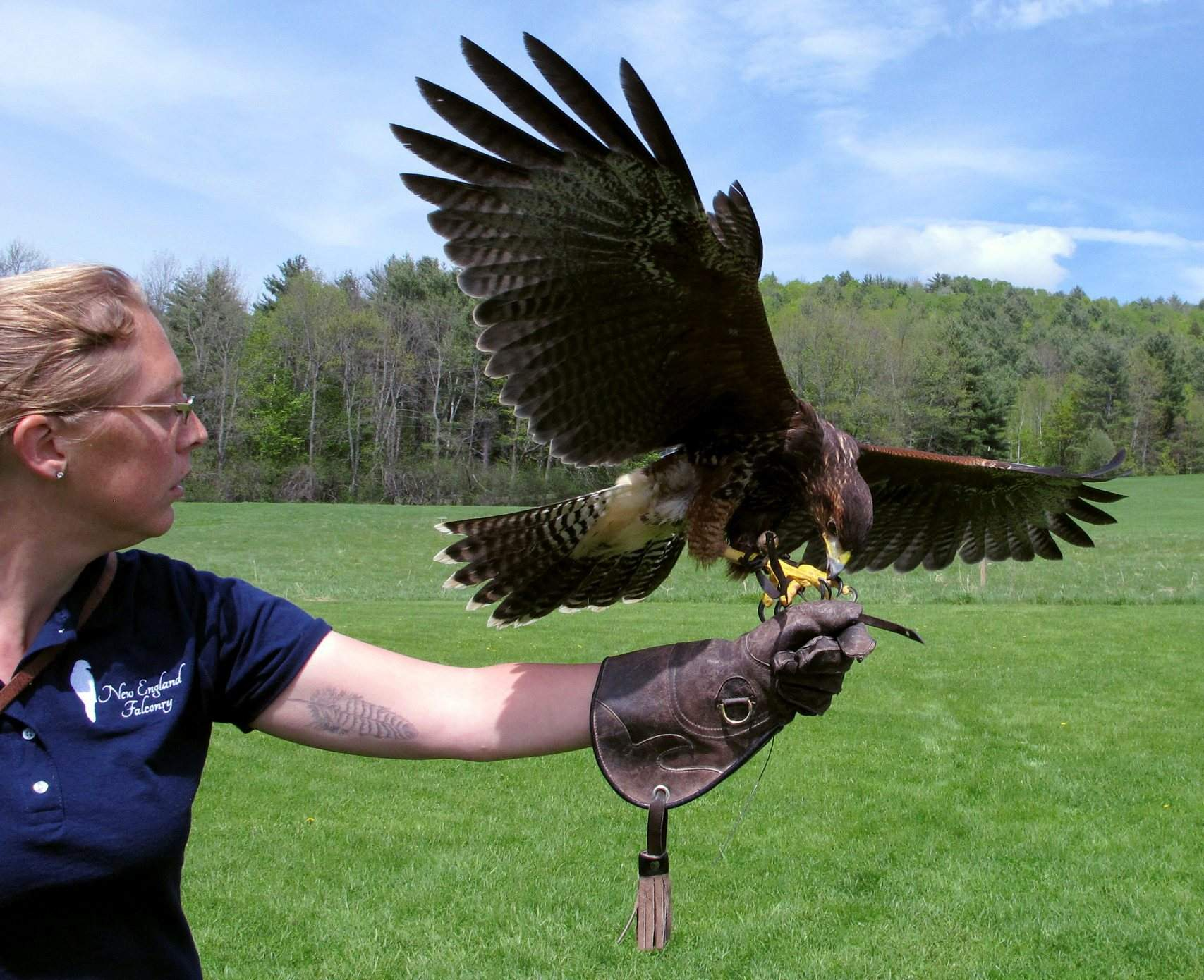 The ancient sport of falconry takes off with tourists around U S
