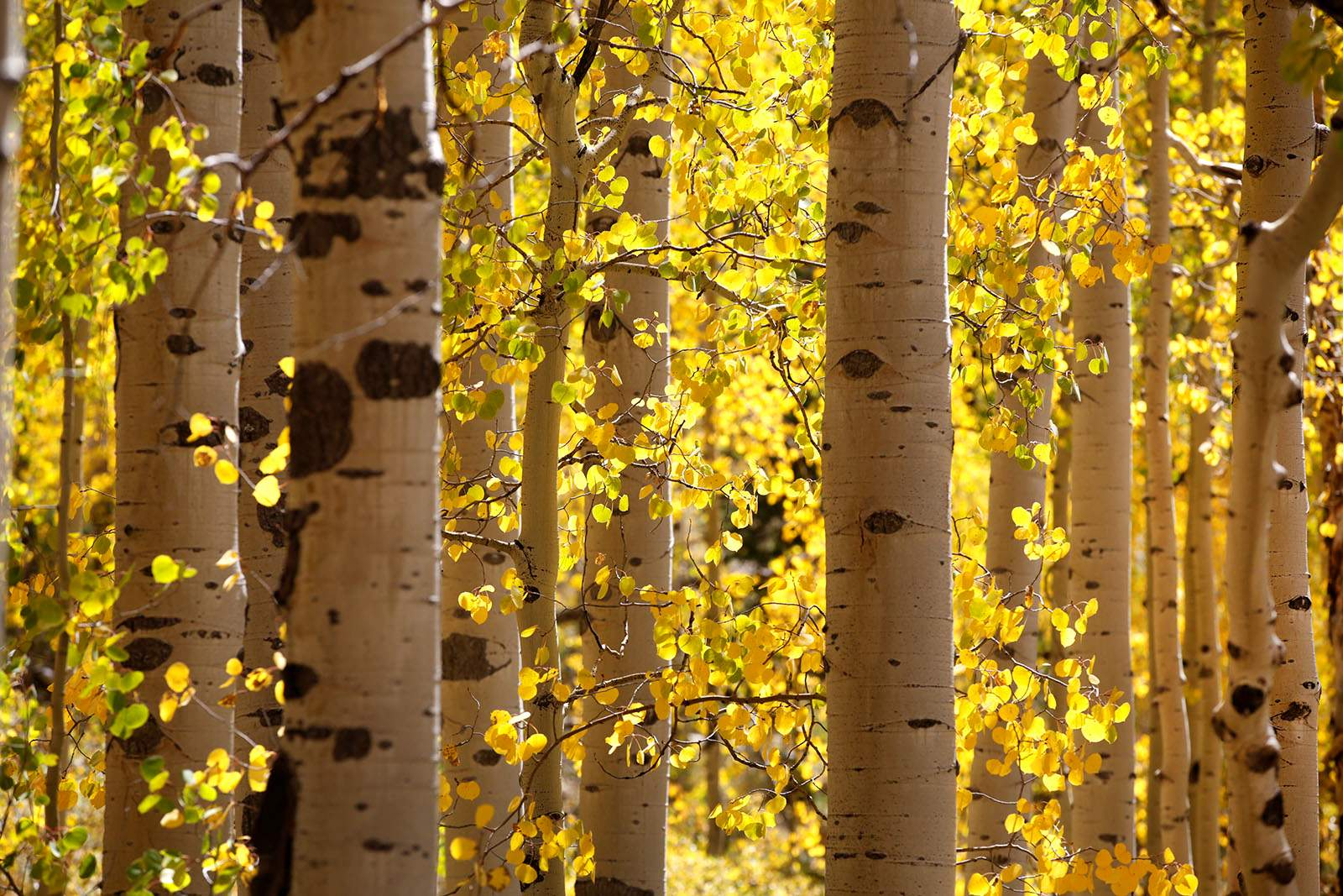 Aspen Trees Are Displaying Their Fall Colors Thursday On Old Lime Creek Road North Of Durango The Area Tourism Office Offers Several Hikes