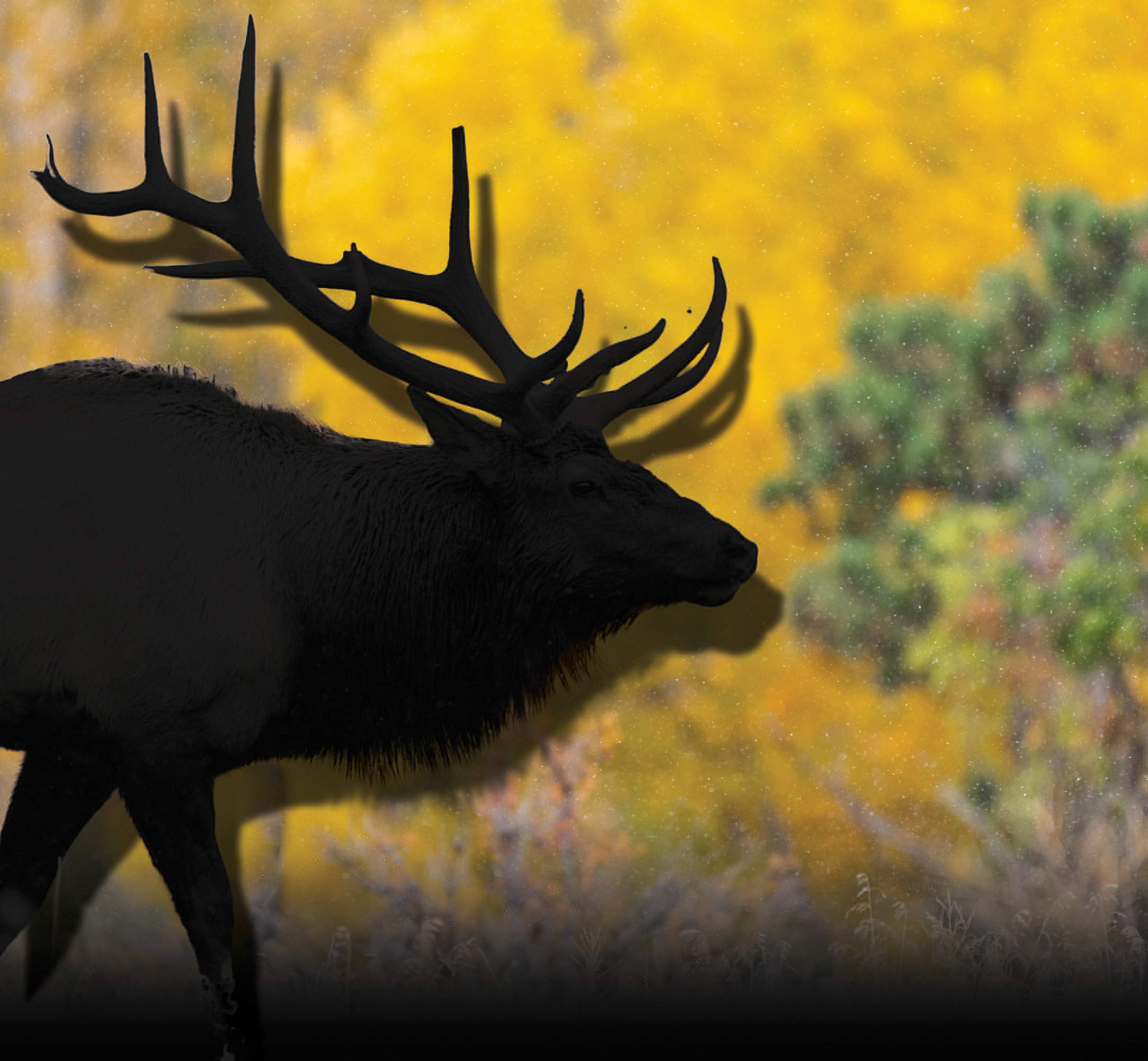 Where have all the elk gone?