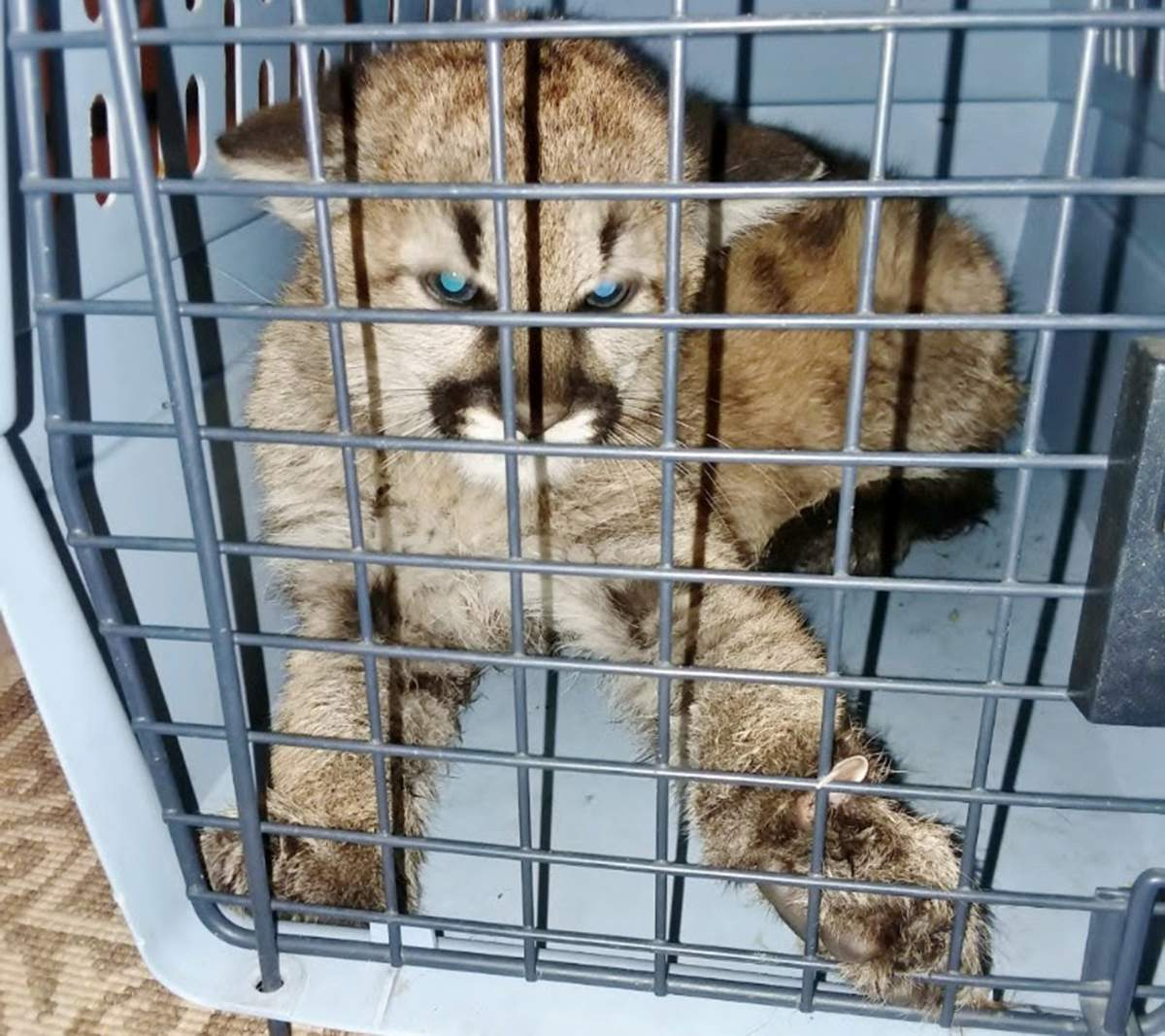 Sickly Mountain Lion Kitten Removed From Private Home As