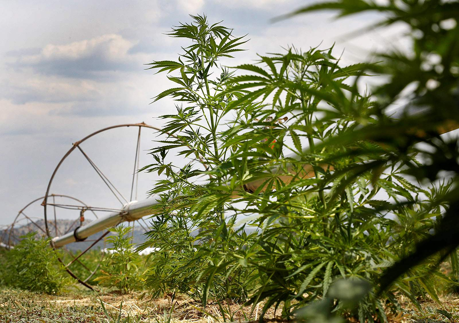 More Southwest Colorado farmers see a future in growing hemp